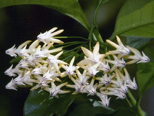 Хойя мультифлора, або багатоквіткова / Hoya multiflora