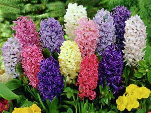 Цветок гиацинт