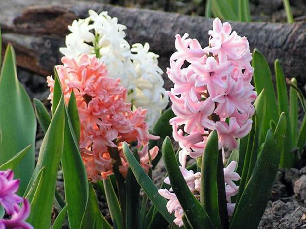 Белый, оранжевый и розовый гиацинты