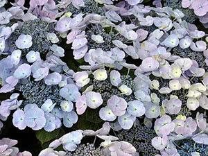 Цветок гортензия или гидрангея