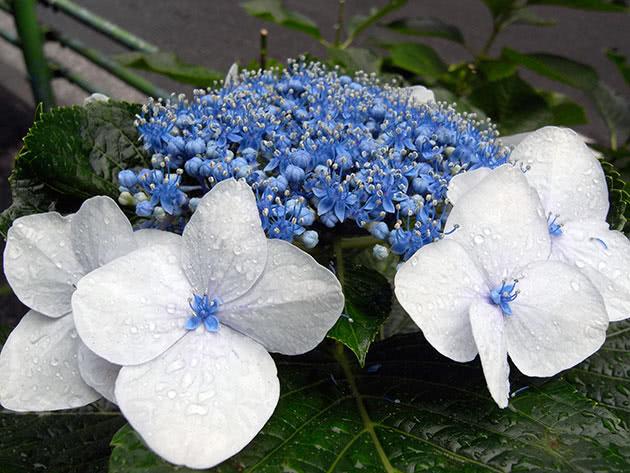 Cуцвіття гортензії