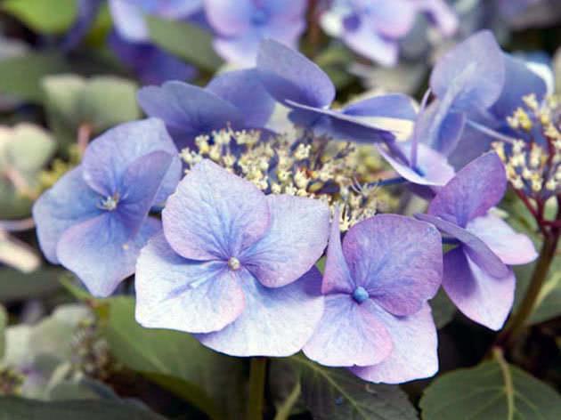 Квіти гортензія