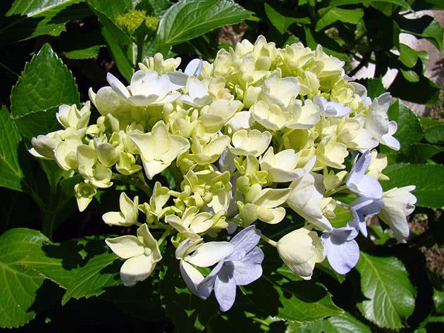 Цвітіння гортензії