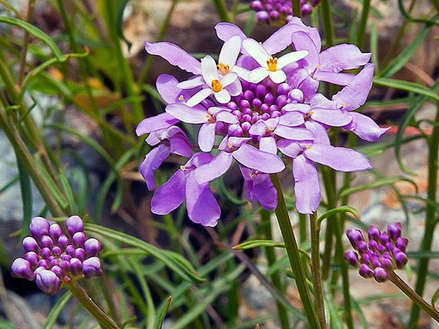 Цветок иберис в саду