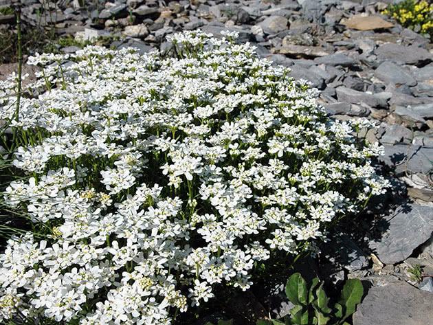 Цветение ибериса в саду