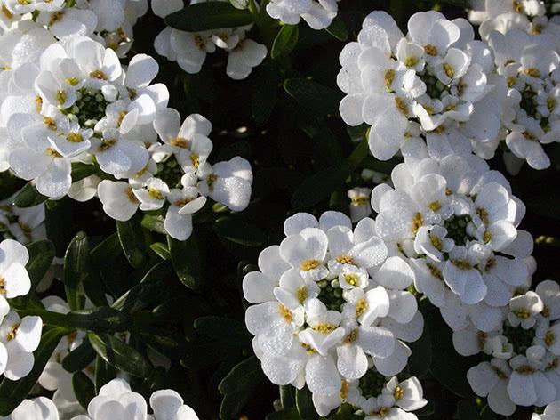 Цветение ибериса