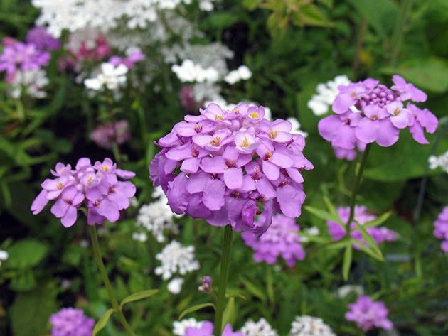 Растение иберис