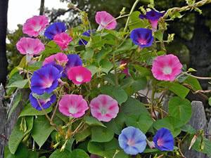 Цветок ипомея