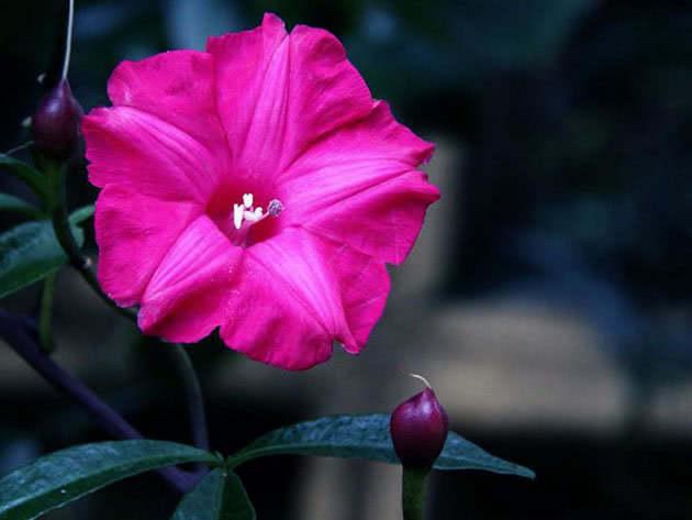 Lilac Morning Glory