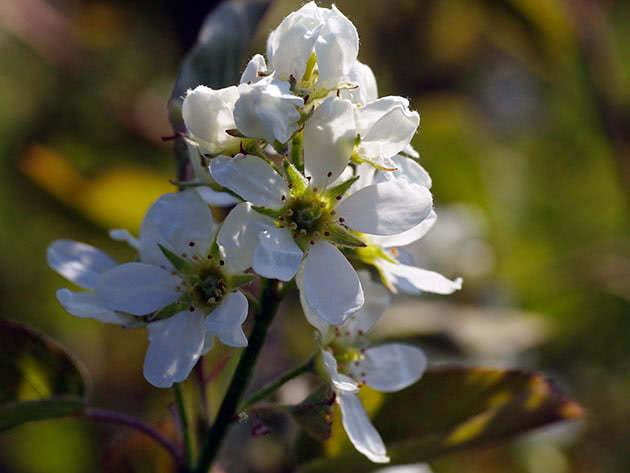 Цвітіння ірги