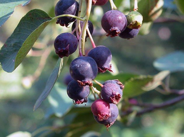 Ірга вільхолиста / Amelanchier alnifolia