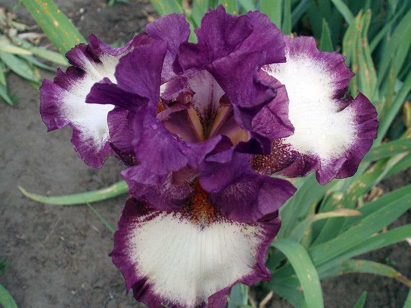 Bearded irises