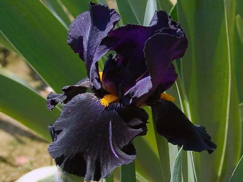 German irises