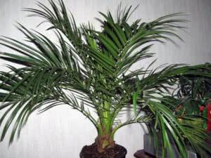 Розмножуємо пальму поділом куща