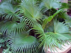 Розмноження пальми Хамедореї