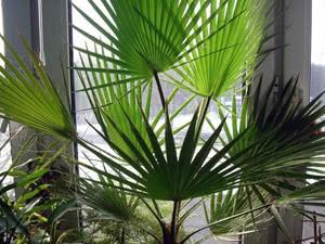 Розмноження пальми насінням