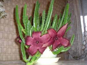 Цвітіння кактуса
