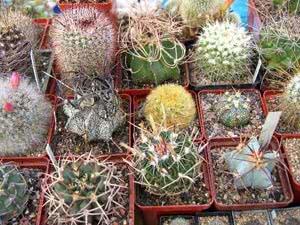 Різновиди кактусів