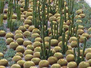 Кактуси серед кактусів