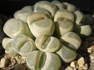 Кактус-камені