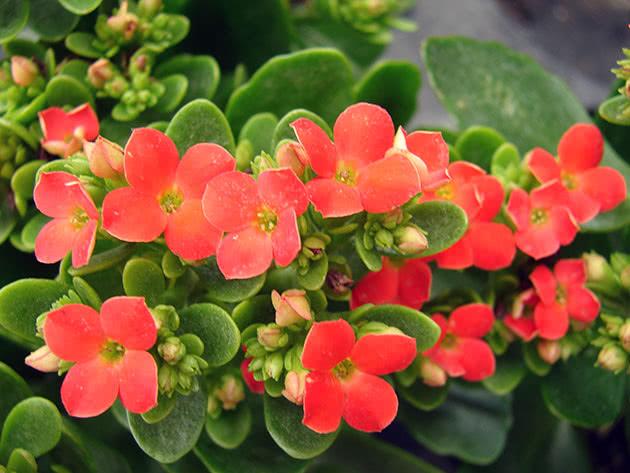 Комнатный каланхоэ цветет