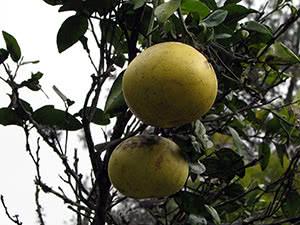 Виды комнатных деревьев – лимон