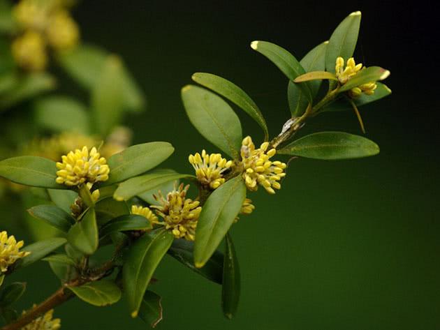 Комнатное дерево буксус или самшит