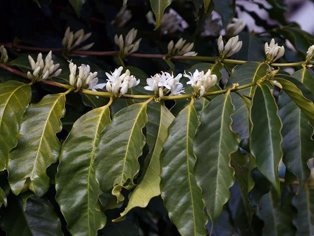 Кофейное дерево можно выращивать дома