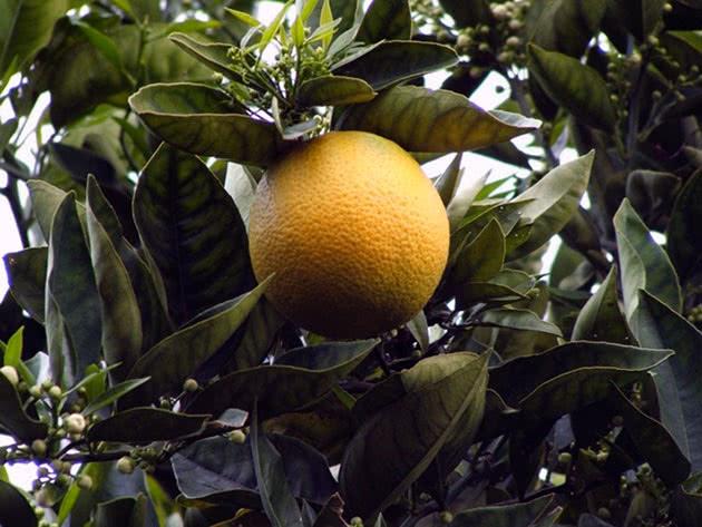 Лимонное дерево с лимоном
