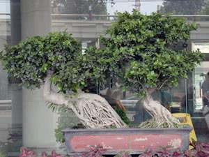 Комнатные деревья