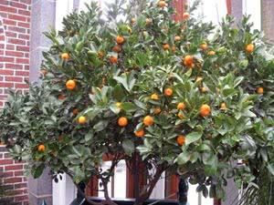 Комнатные деревья – апельсин