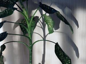 Кімнатні дерева – дифенбахія