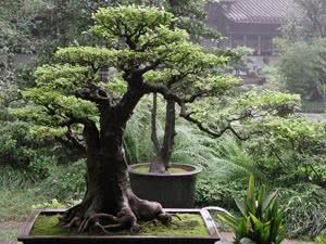 Комнатные деревья – бонсай