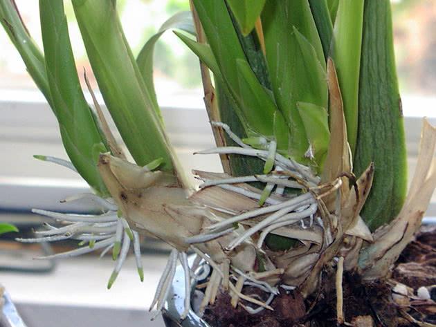 Новые здоровые корни орхидеи