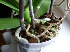 Сухе коріння орхідеї