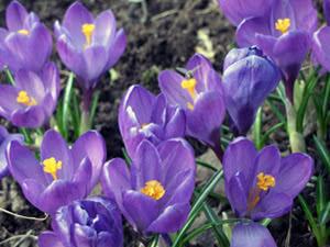 Цветы крокусы или шафран