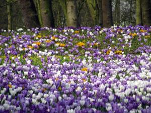 Поляна цветов крокусов