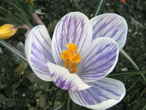 Разновидности цветов крокусов