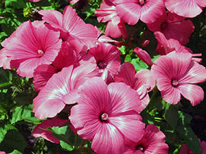 Квітка лаватера