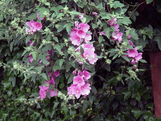 Цветение лаватеры в саду