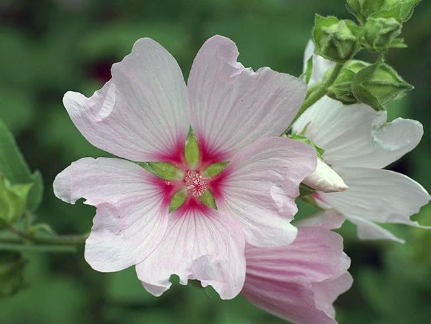 Цветок лаватеры