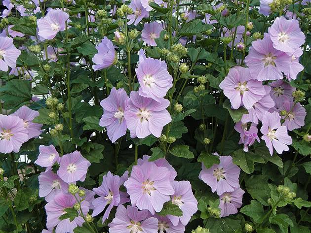 Лаватера тюрингенская, или Собачья роза / Lavatera thuringiaca