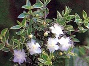 Выращиваем лекарственные растения дома. Мирт