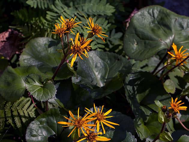 Рослина бузульник