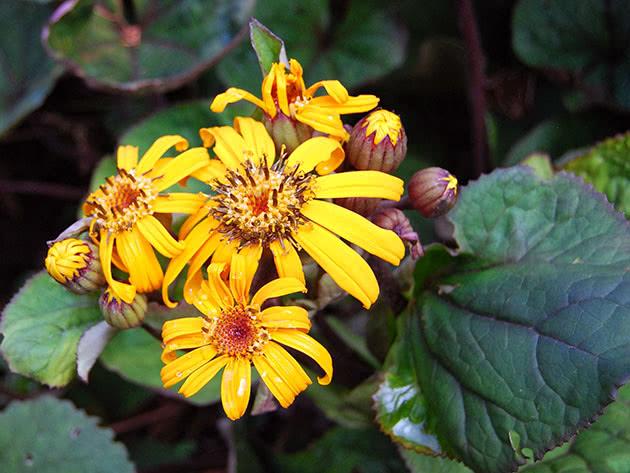 Цвітіння бузульника