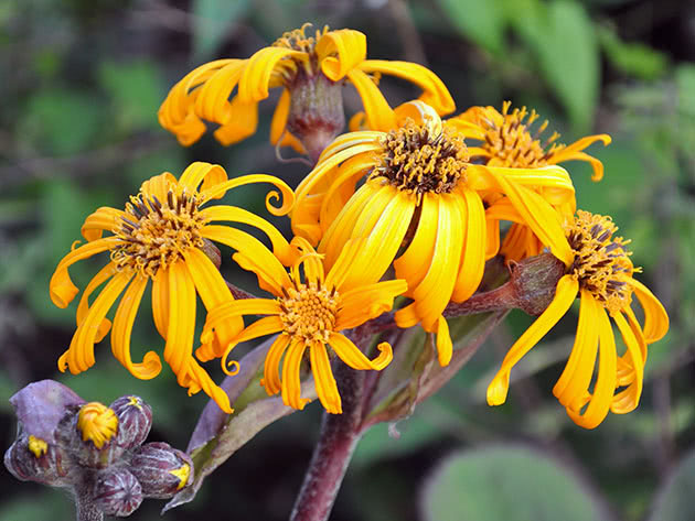 Квітка бузульник або лігулярія