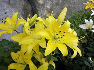 Asiatic lily Adelina