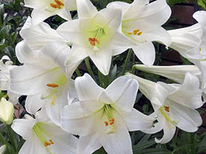 Easter lily hybrids (lilium longiflorum) White Haven