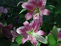 Oriental lily Ascari