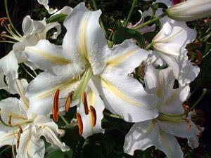 Квітка Лілія в букеті